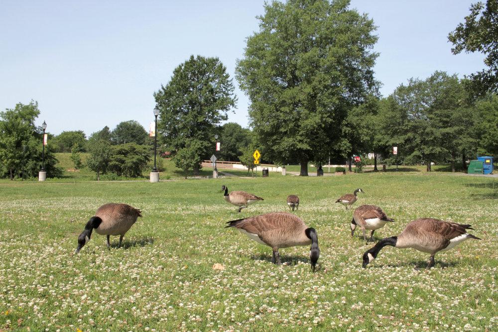 Geese, MacArthur Park
