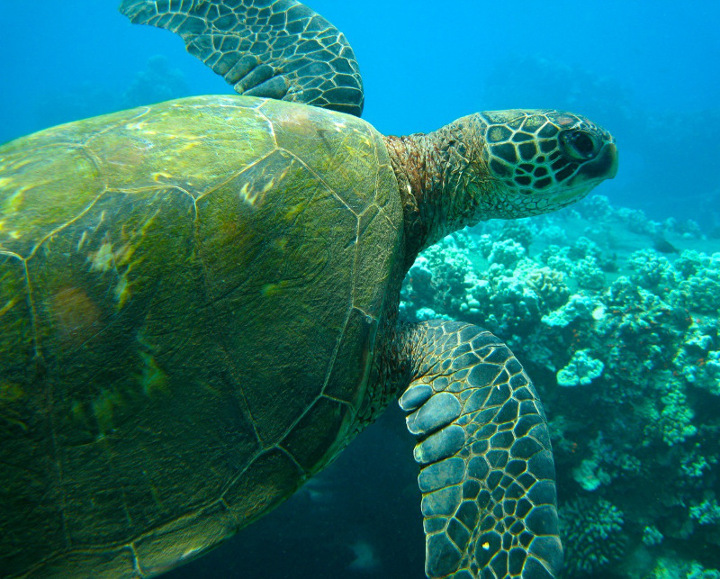 Hawaiian Sea Turtle 1.jpg