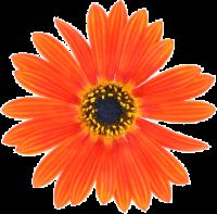 Flower Orange.png