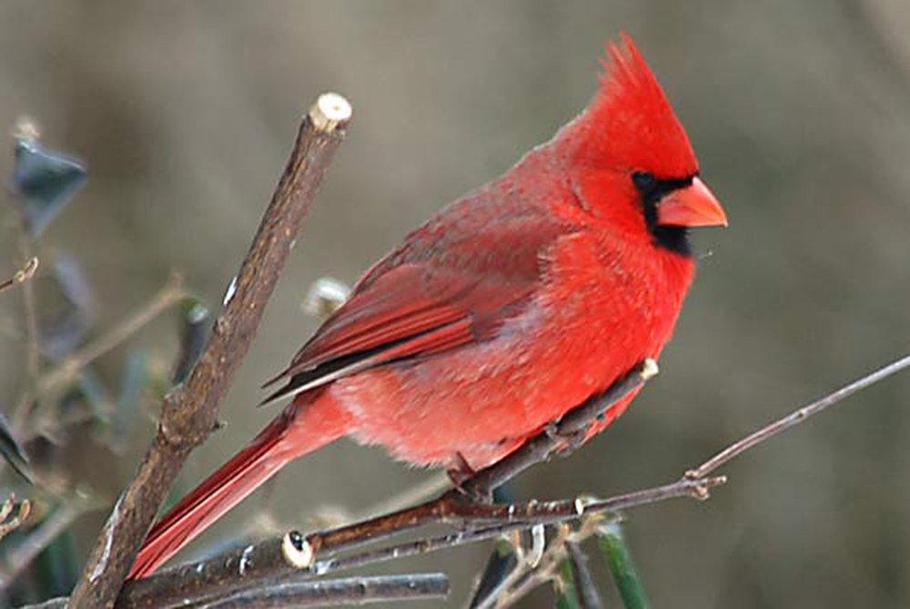 Bird-Cardinal-BranchB-W.jpg