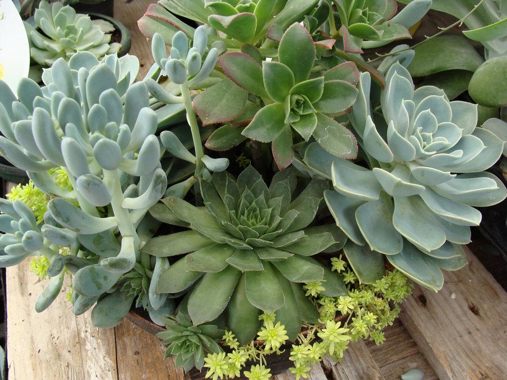 Succulent_Cont_Garden_Mix_17s.jpg