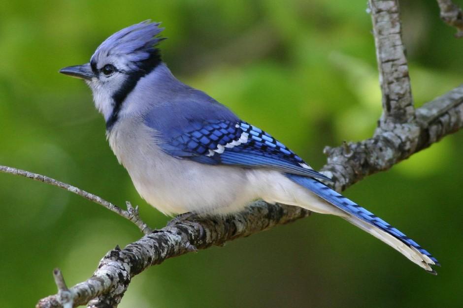 Bird-BlueJay-Branch-W.jpg
