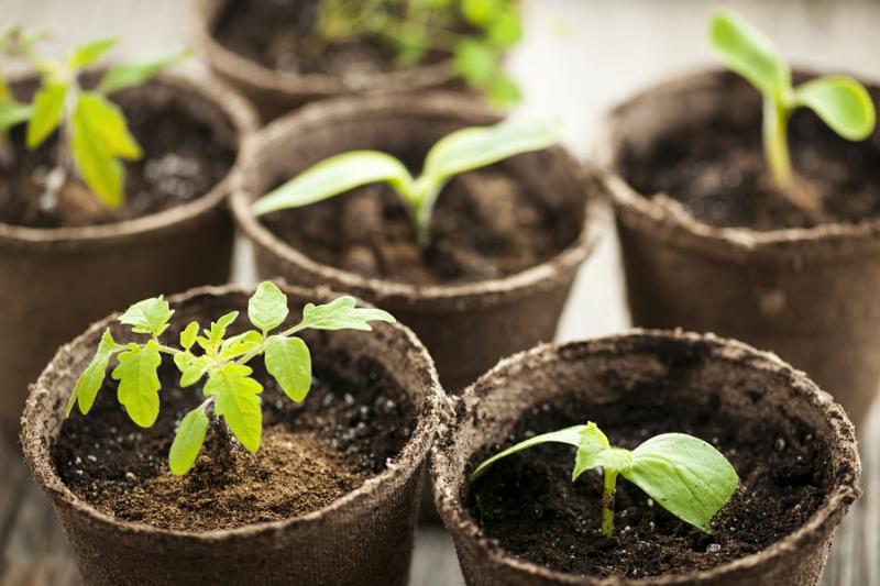 SeedlingsInPeatPotsW.png