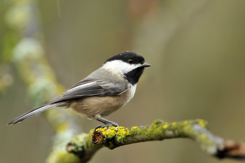 Bird_Chickadee_blackcapped_w.jpg