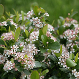 aronia_bloom_chokeberry_PW.jpg