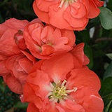 Quince_double_take_orange_blooms_PW.jpg