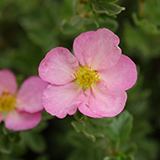 Potentilla_happy_face_hearts_PW.jpg