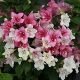 Weigela_czechmark_trilogy_PW.jpg