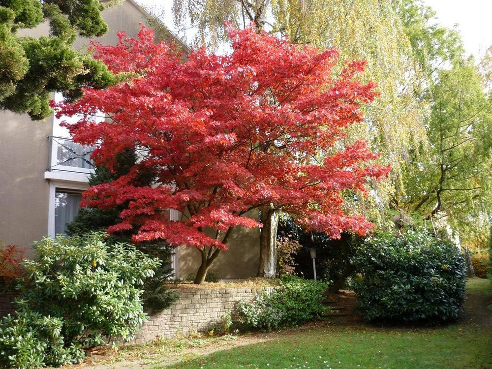 Maple_Japanese_Bloodgood_Tree_LS_w.jpg