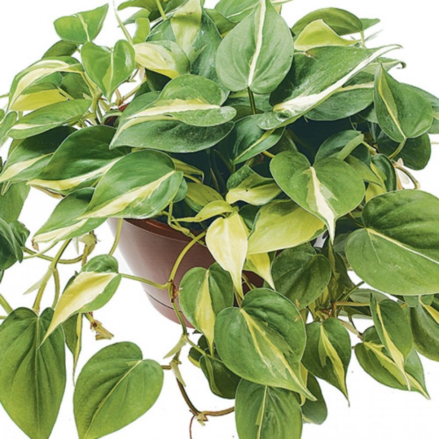 Philodendron_Plant_w.jpg