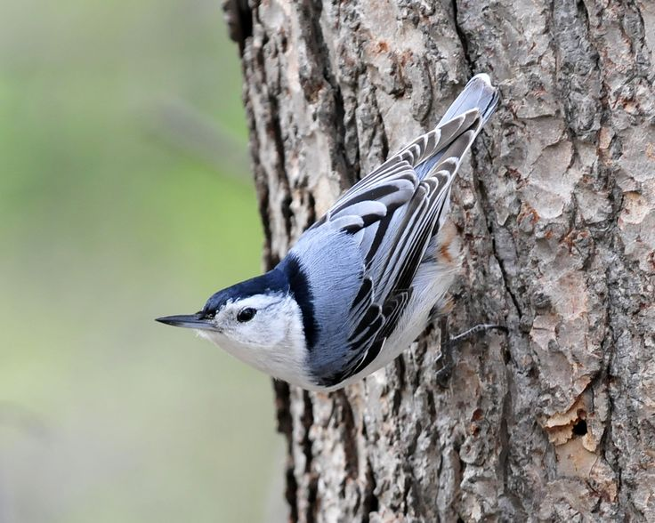 Bird_Nuthatch_White-Breasted_w.jpg