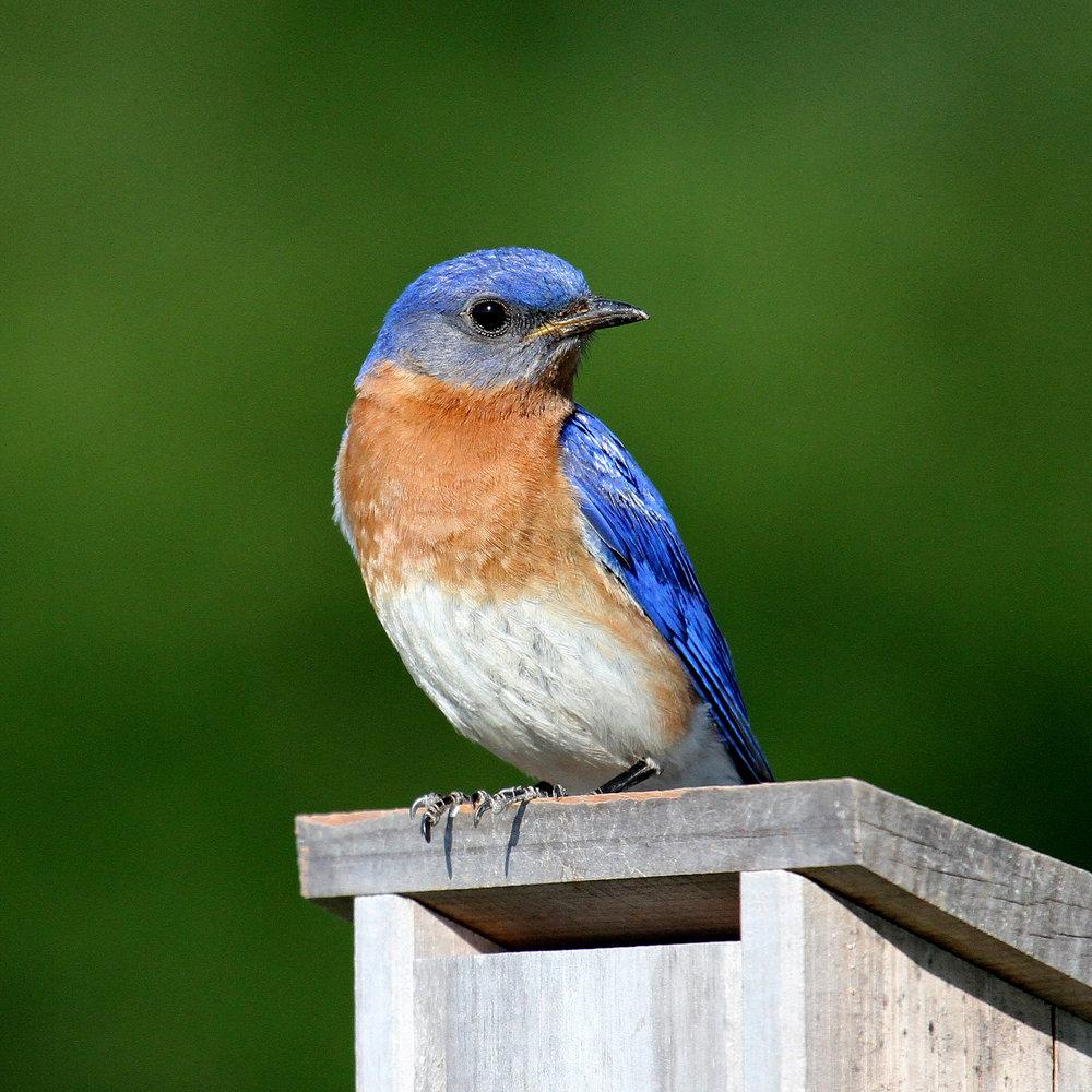 Bluebird_OnTop_House_w-c.jpg