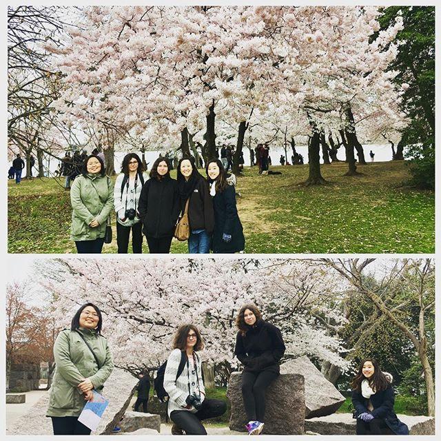 Cherry blossoms everywhere at its peak! #gmuklesis #cherryblossom #latergram