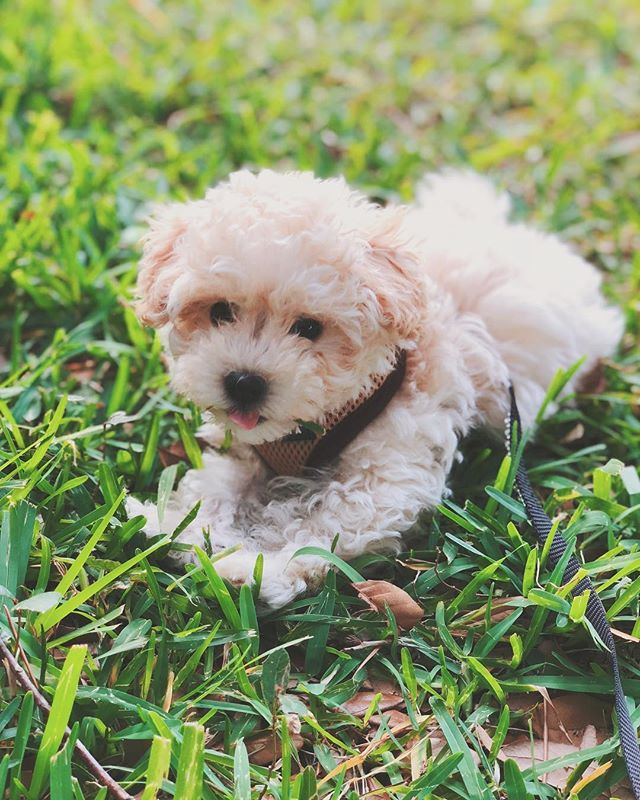 First foray into the grass was a huge success. #mauithemaltipoo #maltipoosofinstagram #dogsofinstagram #model #10weeks