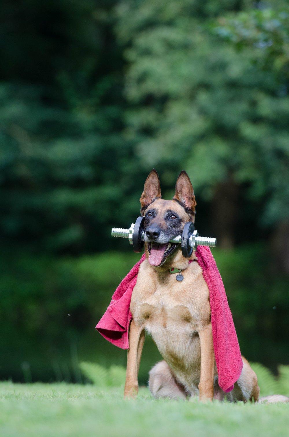 animal-belgian-shepherd-dog-dog-37735.jpg