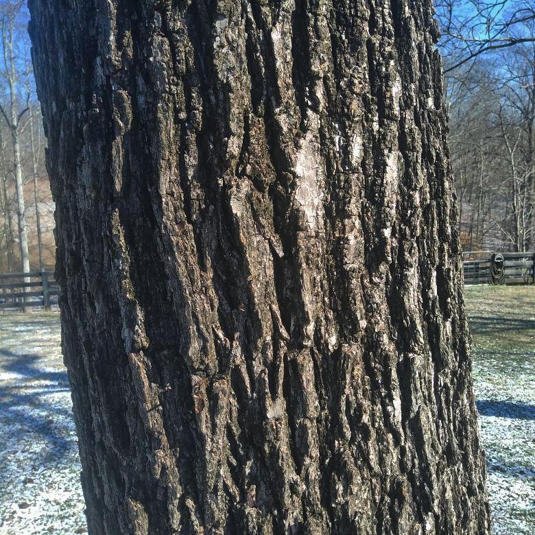 Black walnut 2.jpg