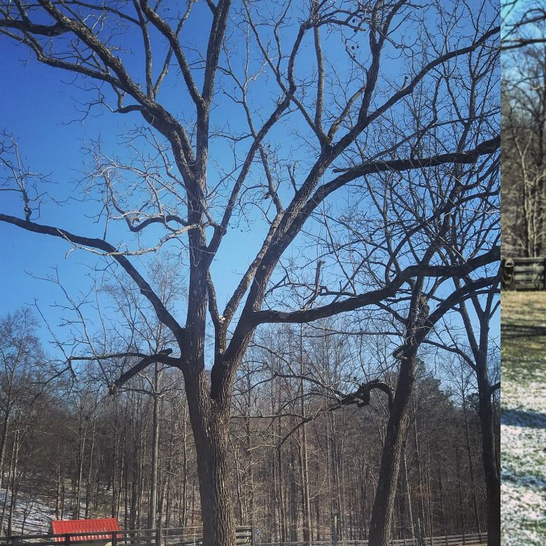 Black walnut 6 tree.jpg