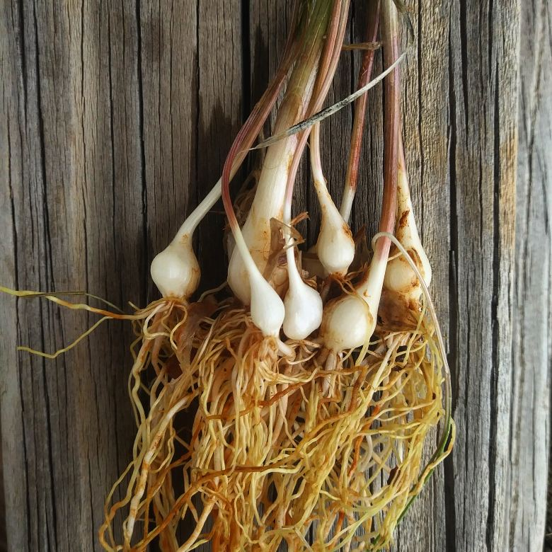 Wild onion 1.jpg
