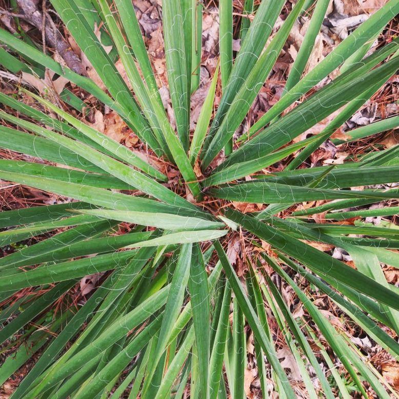 Yucca 1.jpg