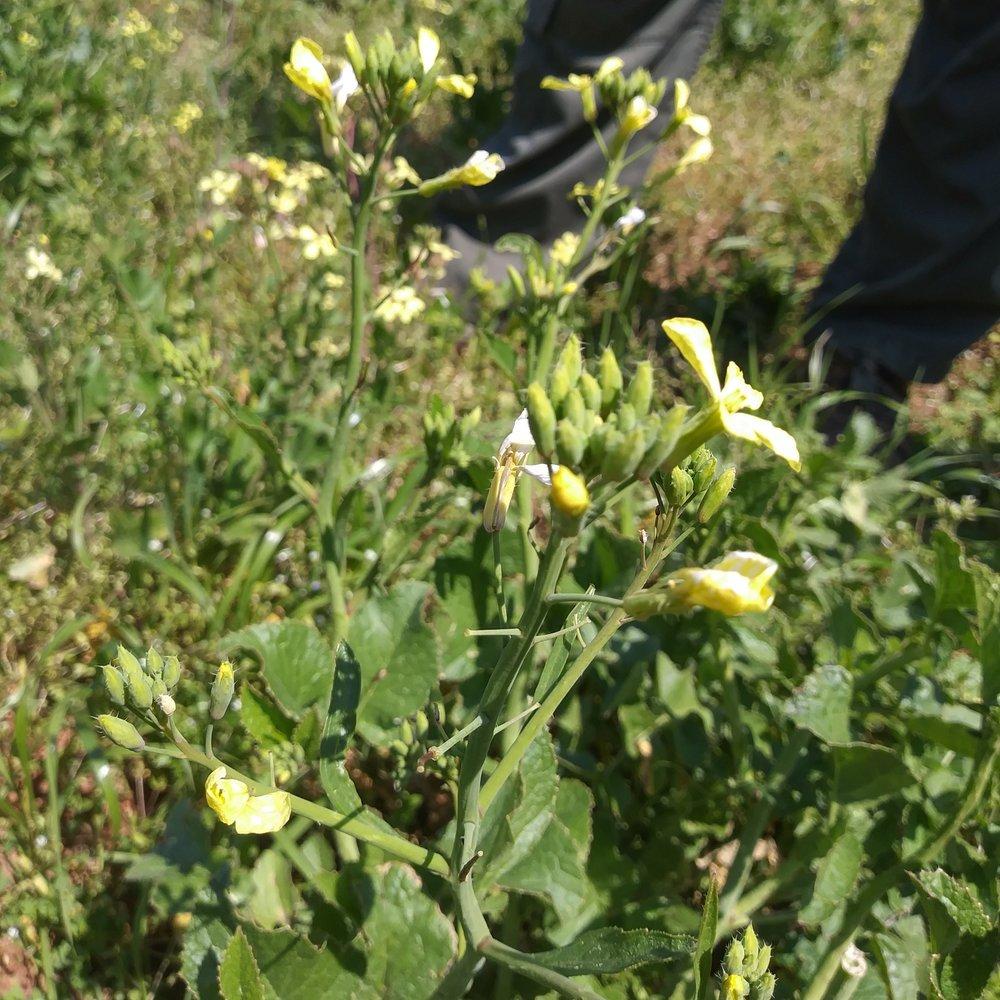 Wild Mustard 1.jpg