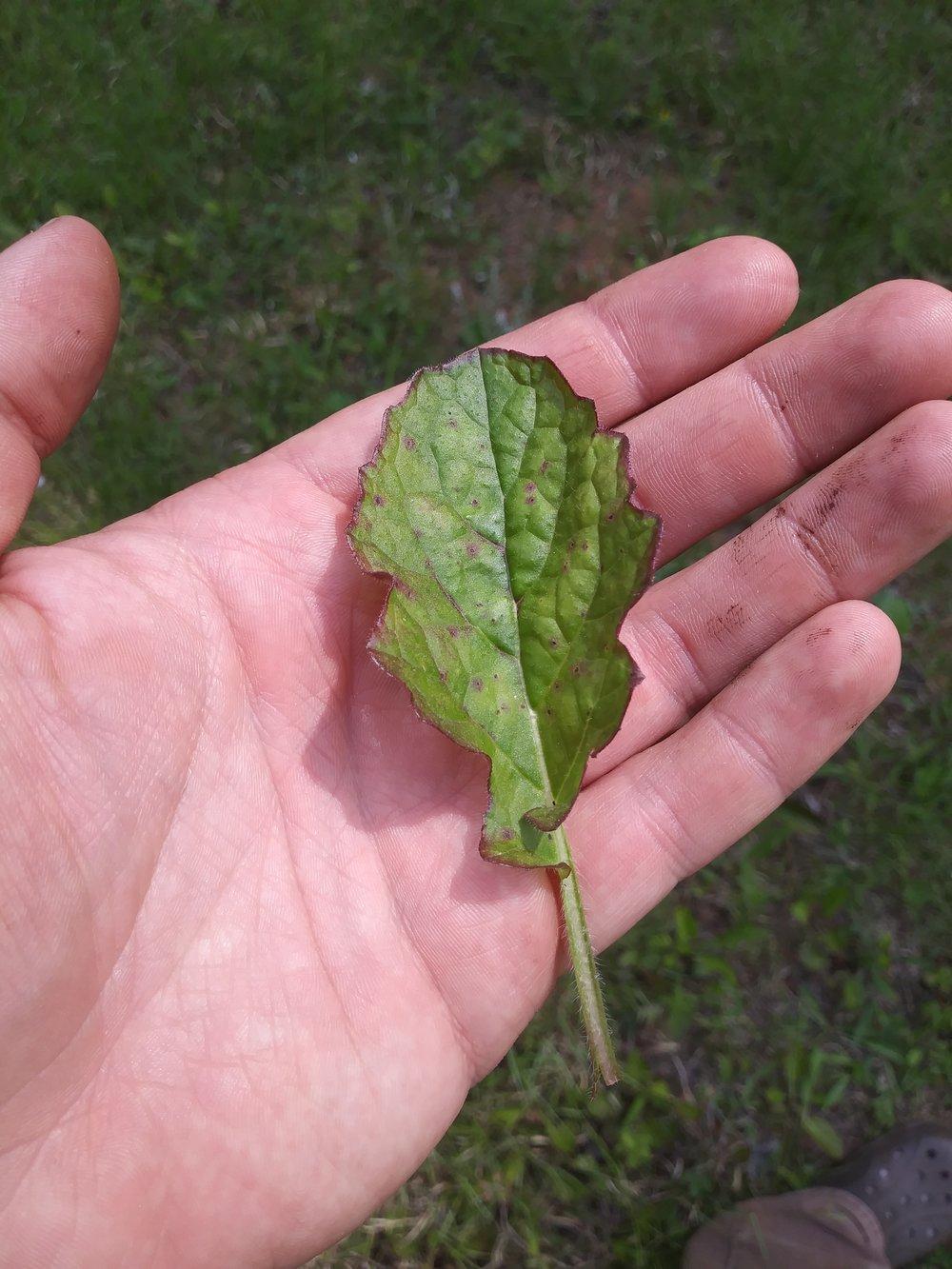 Lyre Leaf Sage 2.jpg
