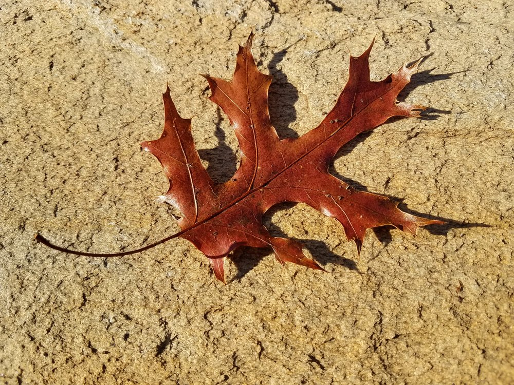 Red Oak 1.jpg