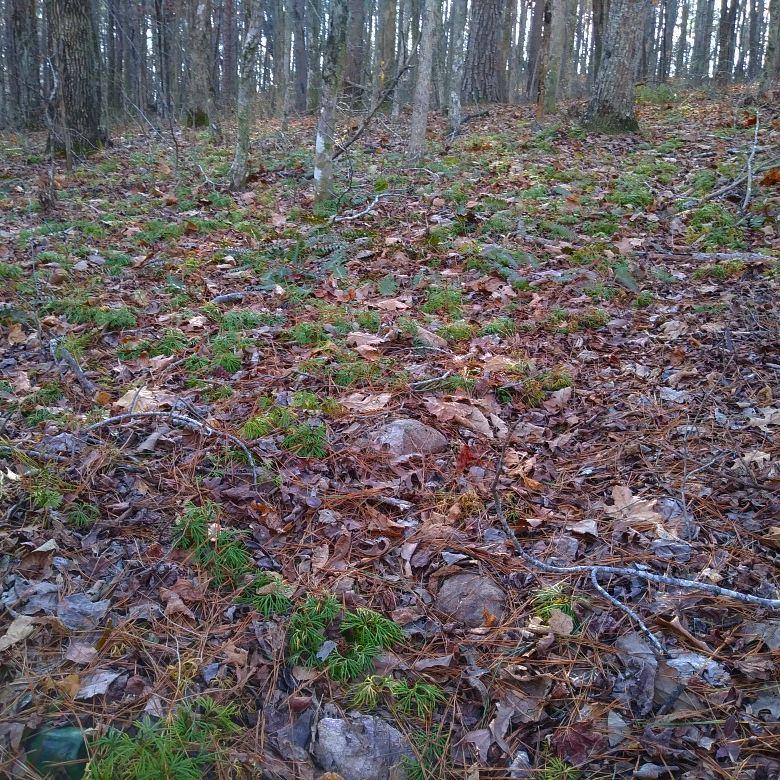 Creeping cedar 3.jpg
