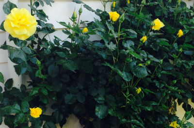 roses-for-blog-400x264.jpg