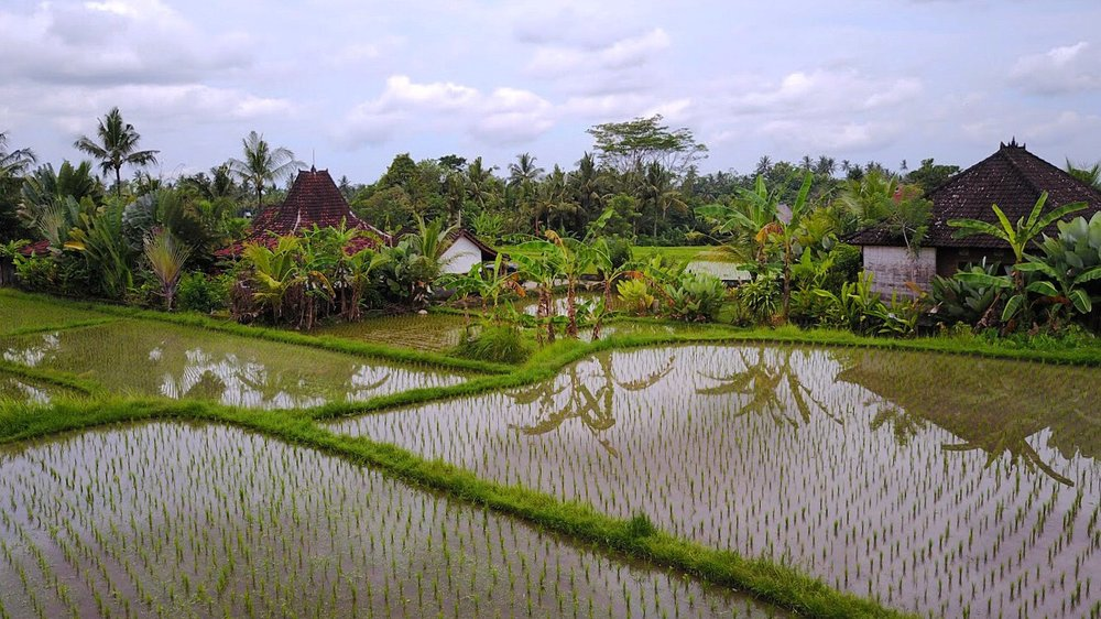 Ubud rice fields.