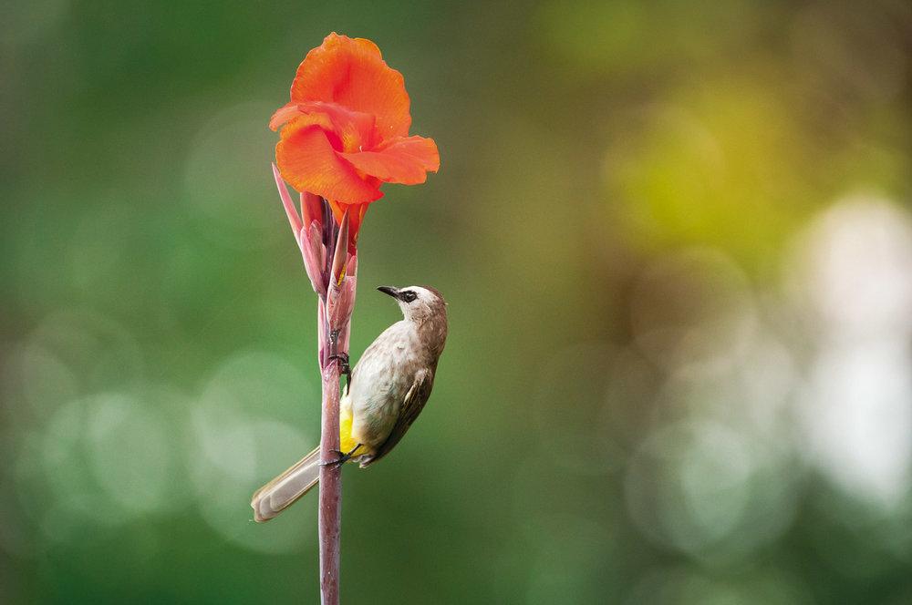 singapore birder bulbul on a canna flower-1.JPG