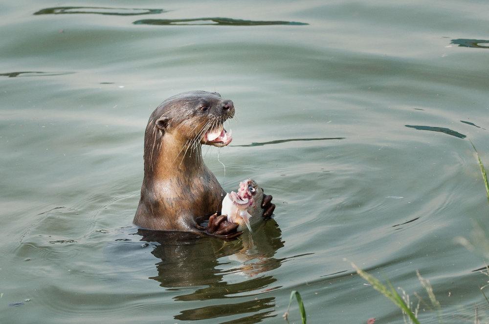 singapore photographer otter eating fish shilpa-1.JPG