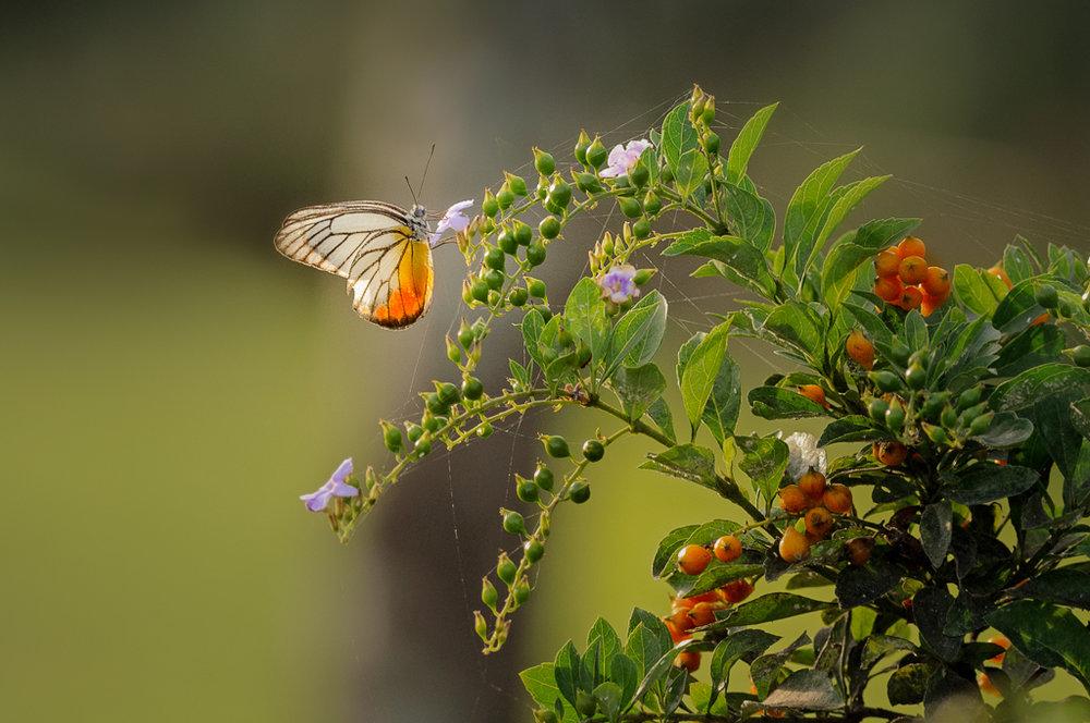 feb butterfly F.JPG