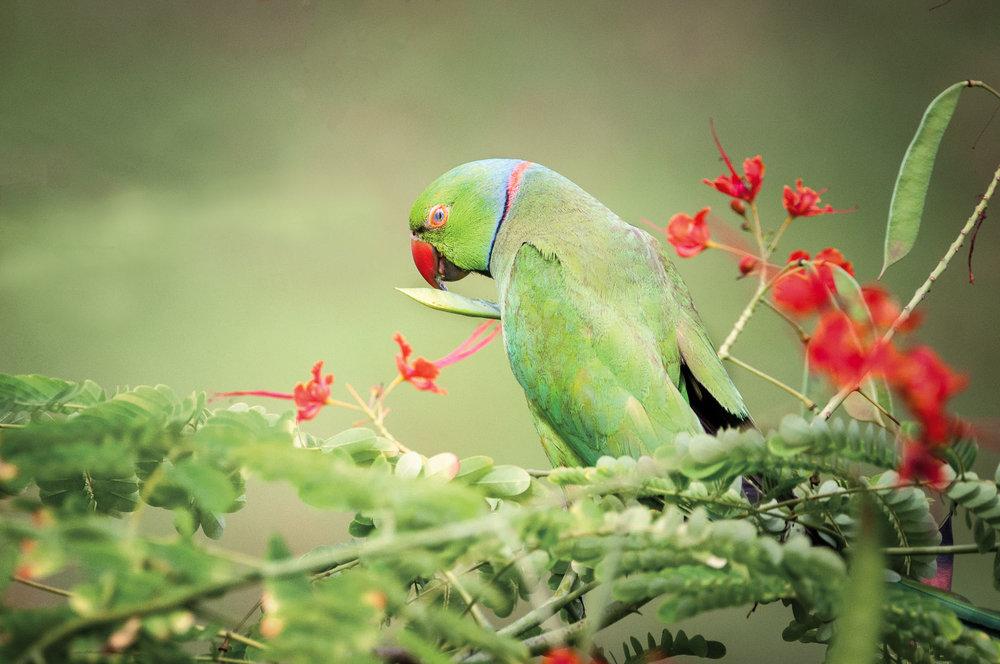 parrot banded-1.JPG