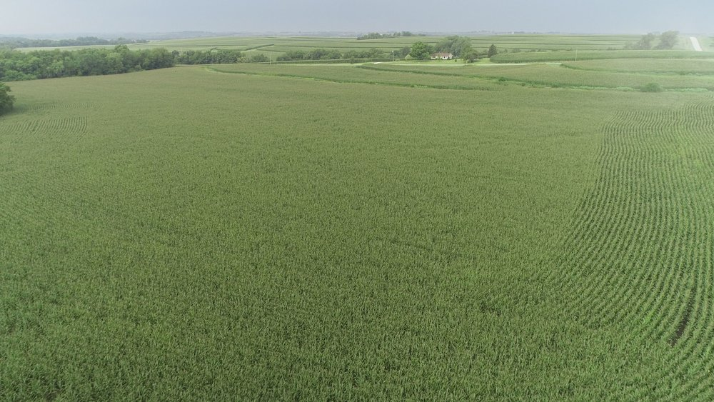 View of West Tract Planted in Corn (July 23, 2018)