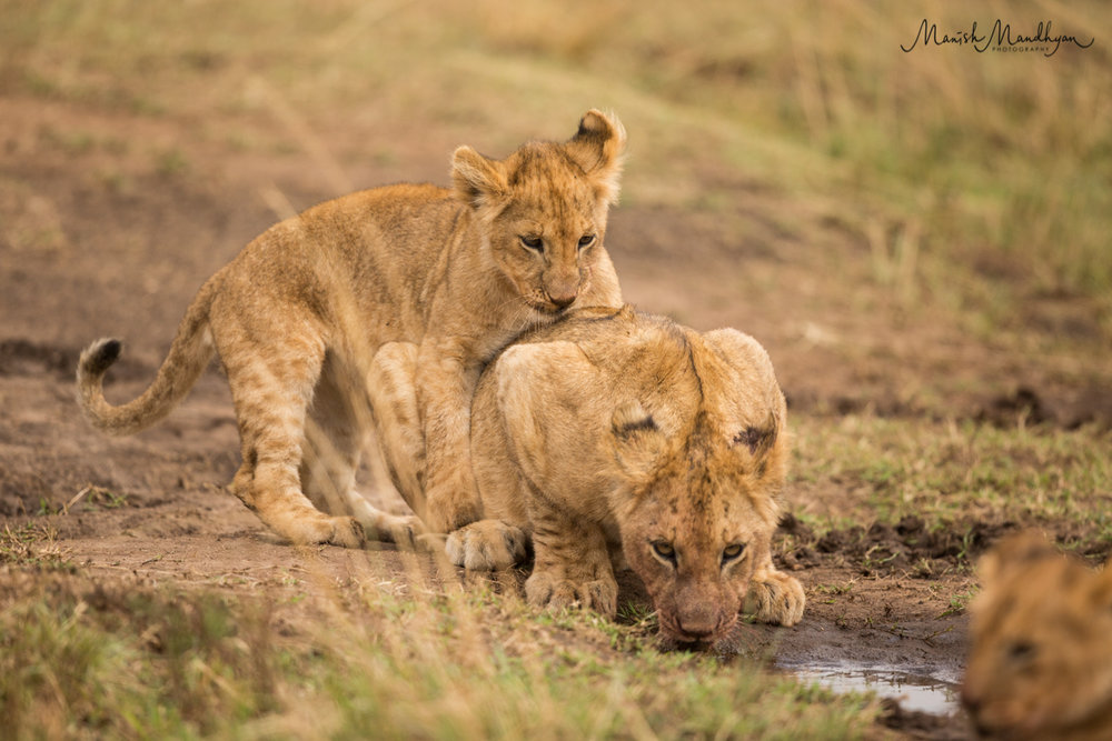 LionBrothers.jpg