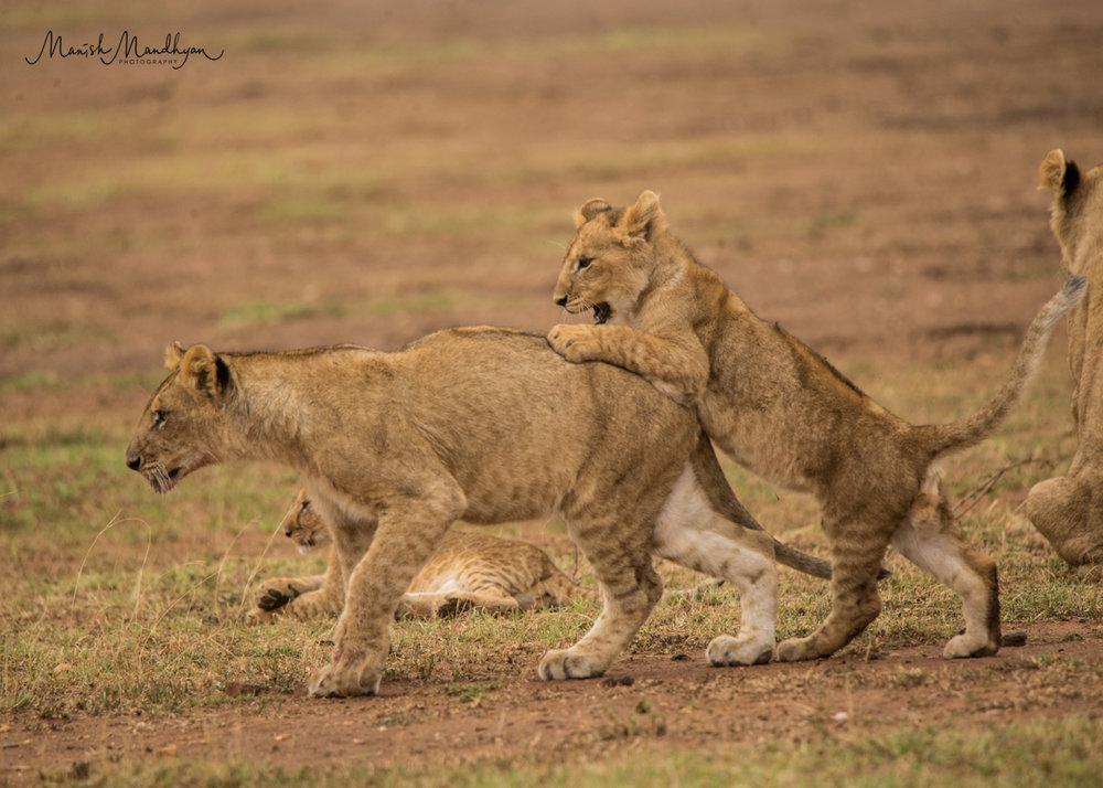 LionBrothersBack.jpg