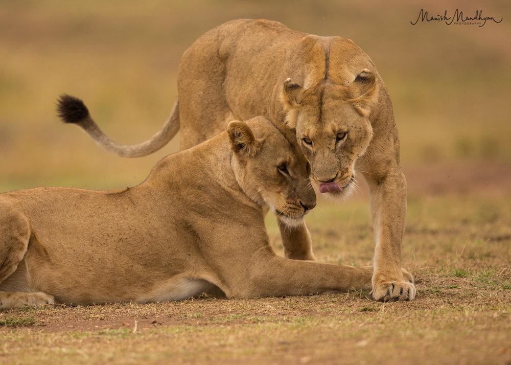 LionLove.jpg