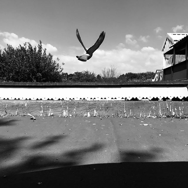 Flight. • • • #blackandwhitephoto #pigeoninflight #themonochromelife #lifeinblackandwhite #themonochromerambler #snaresbrookstation #eastlondon