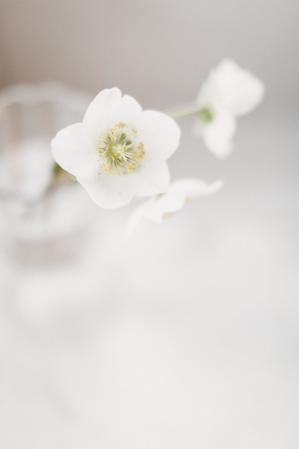 March Favourites - Hellebore