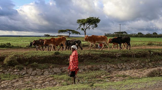 Cattle play an important role in Maasai life. It is their primary source of food.