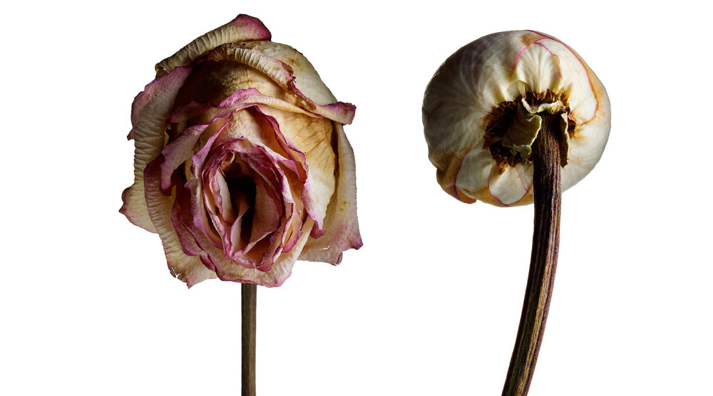 Rose-1800.jpg