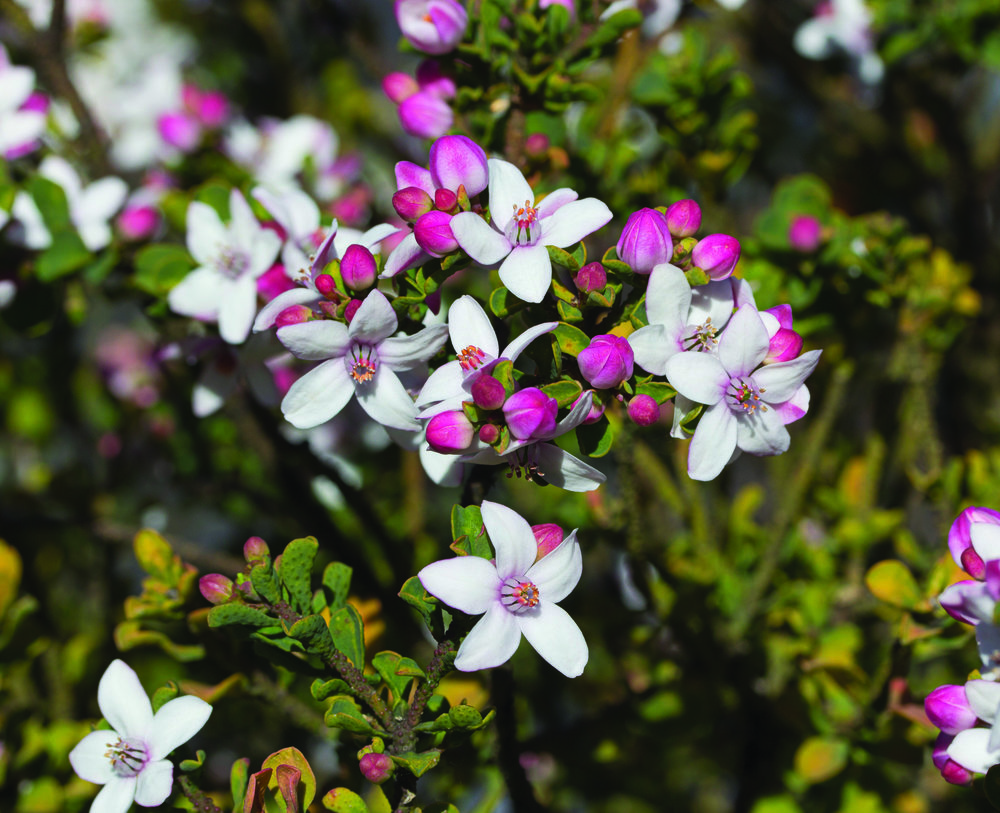 Freycinet Waxflower  Philotheca freyciana  (1)