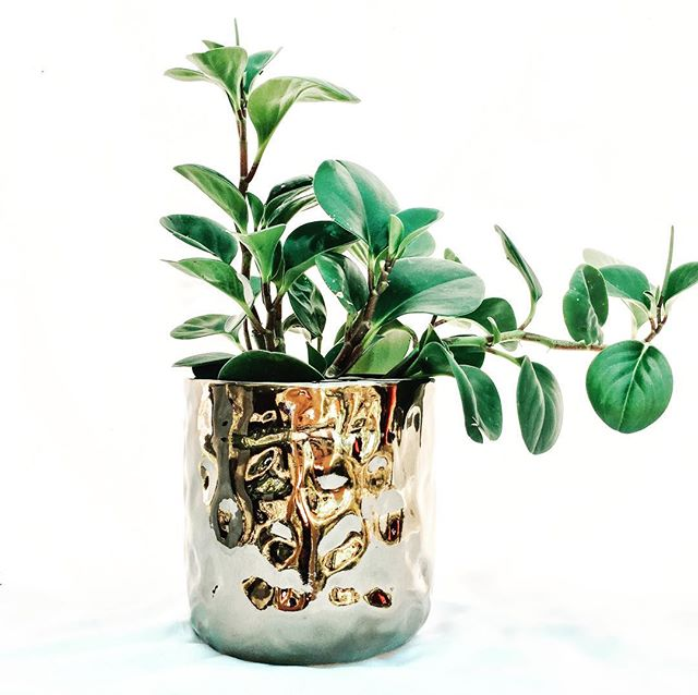 New stock has landed just in time for the @sunshinecoastcollectivemarkets this Sunday 🌱😍 😘 . . . . #plants #noosa #coolum #startup #plantstyling #interiordesign #peperomia #indoorplants