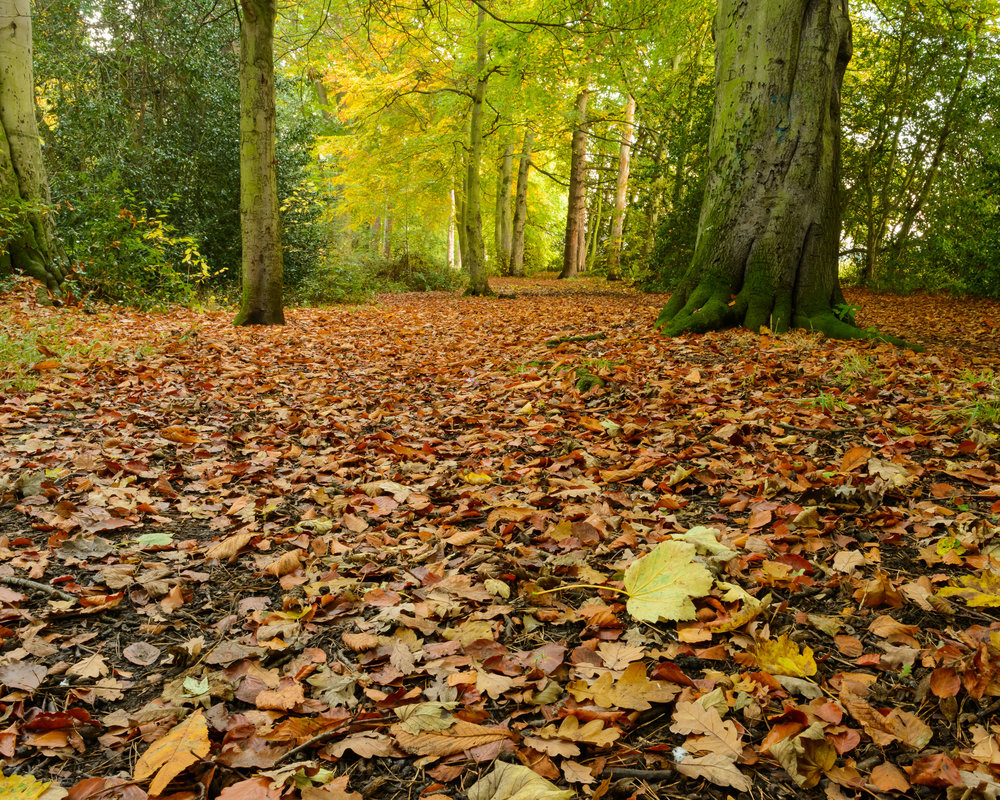 Leaves Coat the Ground in the Avenue of Trees.jpg