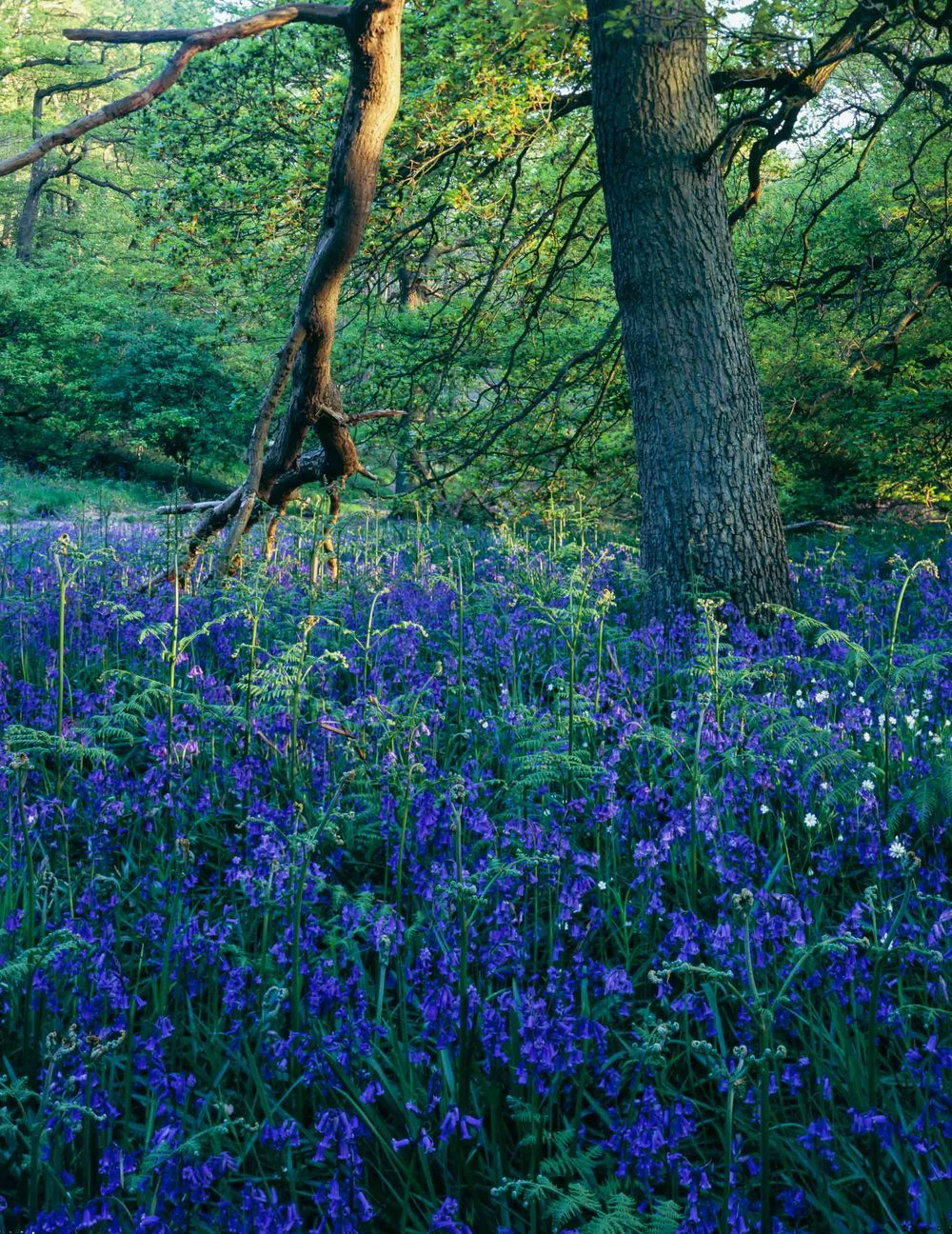 Bluebells and Tree, Newton Wood