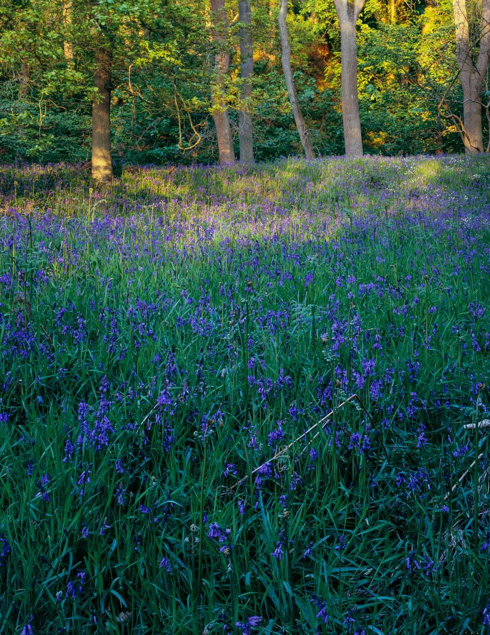 Sunlight Dancing on Bluebells, Newton Wood