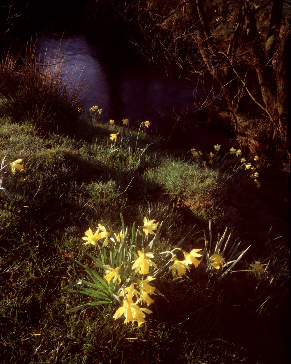 Daffodils by the River Dove