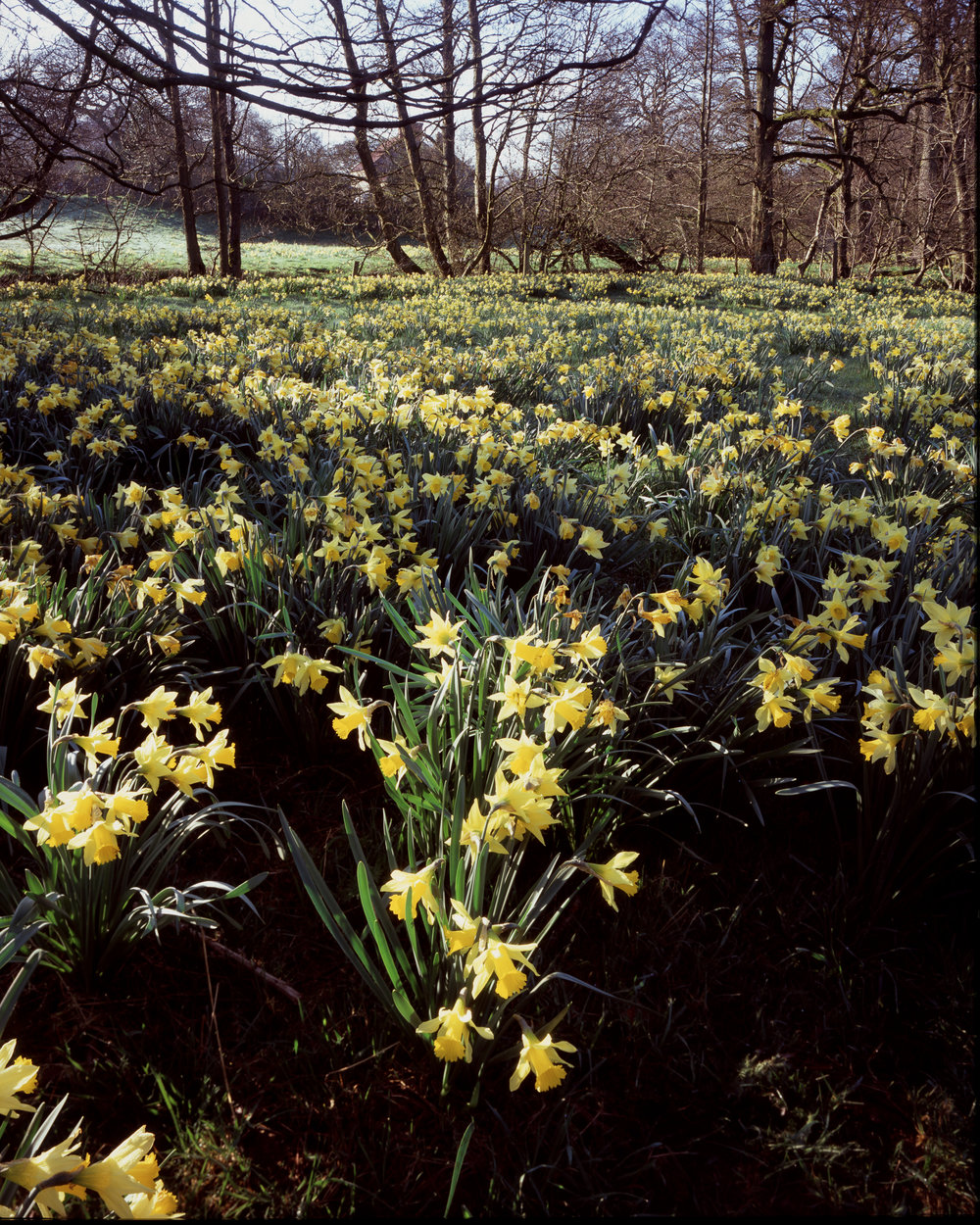 Carpet of Daffodils