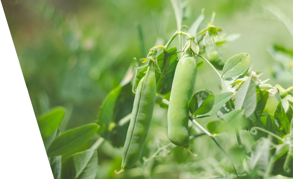 sustainably Local - Peas are one of the most sustainable sources of protein on the planet. To source our peas, we work exclusively with farmers in the East of England meaning we keep our production local and further reduce our impact on the environment!