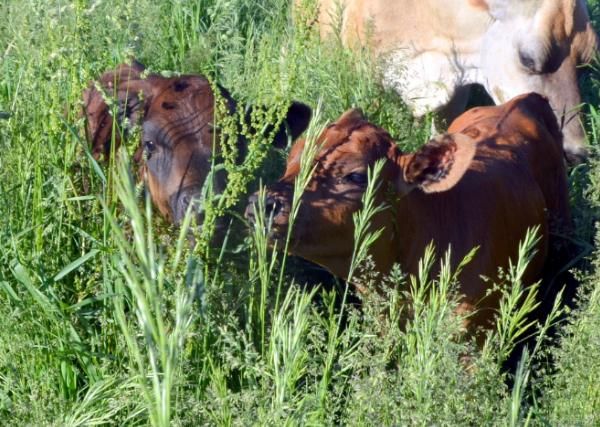 calves 600x427.jpg